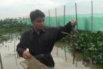 Hà Nội: Cận cảnh hàng nghìn con rắn mòng bơi dưới ao