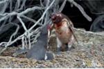 Bị 'cắm sừng', chim cánh cụt đực lao vào huyết chiến với 'nhân tình' của vợ