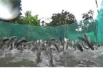 Chuyện lạ: Nông dân Cần Thơ gọi được cả vạn con cá nhảy múa trên mặt nước