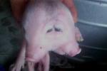 Đổ xô đi xem lợn quái dị ở Nghệ An