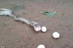 Video: Rùng mình nhìn rắn hổ mang quằn quại ọe trứng