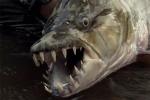 Video: Cận cảnh thuỷ quái có hàm răng ghê rợn có thể xơi tái cá sấu