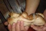 Cận cảnh cây nấm Thái Tuế mang hình dáng thiếu nữ đắt hơn vàng ở Trung Quốc