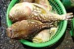 Cá 'tử thần' xuất hiện dày đặc bất thường tại vùng ven biển Thừa Thiên - Huế