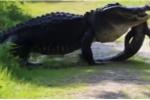 Video: Cá sấu khổng lồ ăn thịt đồng loại ở Mỹ gây sốc