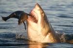 Ảnh: Cá mập trắng khổng lồ phi thân đớp hải cẩu
