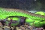 Video: Quá trình sinh nở đau đớn của rắn lục đuôi đỏ