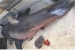 Ngư dân hoảng loạn nhìn cá mập khổng lồ phi lên thuyền