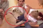 Clip sốc: Sư tử đòi ăn thịt bé gái ngay trên sóng truyền hình