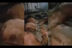 Đàn bò 17 con lăn ra chết bất thường sau bữa ăn