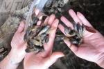 Chuyện lạ xứ Thanh: Thầy cô mò nòng nọc dưới suối để ăn