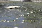 Hồ Ba Mẫu trắng xác cá, bốc mùi nồng nặc