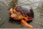 Giải cứu rùa biển quý hiếm nặng 70kg mắc lưới ngư dân Quảng Trị