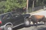 Bò tót điên cuồng tấn công ô tô khiến nhiều người hoảng sợ