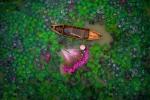 Cảnh thu hoạch hoa súng Việt Nam đoạt giải nhì thi ảnh flycam toàn cầu