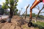 Đêm nay, hàng chục cây cổ thụ phố Kim Mã sẽ rời khỏi Thủ đô