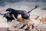 Video: Trâu điên phản công, đuổi sư tử chạy loạn