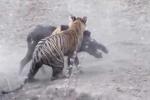Clip: Mãnh hổ phục kích dưới nước, thảm sát lợn rừng