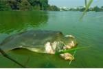Xác cụ rùa Hồ Gươm sẽ được bảo quản lâu dài