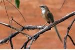 Phát hiện loài chim biết giao tiếp như con người