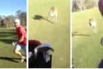 Kinh hoàng cảnh Kangaroo đuổi đánh dân chơi golf sành điệu