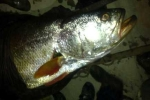Chuyện người tung hai mẻ lưới bắt 1,5 tấn 'cá vàng ròng'