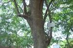Đánh nhau chảy máu vì cây sưa ở Bắc Ninh: Giá trị thực của cây sưa