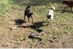 Đàn chó hỗn chiến với hổ mang chúa ở Thái Lan