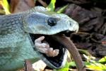 Khiếp đảm cảnh rắn độc dài nhất châu Phi xơi tái con mồi