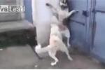 Làm chó con giật mình, chó bố bị chó mẹ 'dằn mặt' cảnh cáo