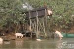 Tập cho lợn nhảy cầu và bơi lặn, nông dân giàu to
