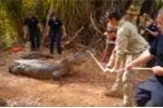 'Ăn trộm' gia súc của dân, cá sấu khổng lồ bị cảnh sát tóm gọn