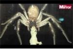 Clip: Cận cảnh nhện độc khổng lồ ăn thịt tắc kè