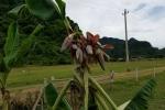 Cây chuối 'mắn đẻ nhất Việt Nam' trổ bắp, nhiều người đòi mua về thờ