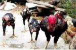 Những chuyện lạ ở vùng đất nuôi gà khổng lồ