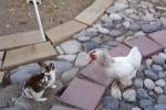 Thỏ đại chiến, gà nhảy vào can
