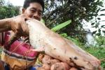 20 con cá trê màu hồng trong ao của nông dân Cần Thơ