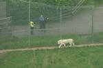 Video: Hổ trắng cắn chết người ở vườn thú Anh