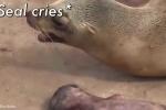 Clip hải cẩu mẹ rơi nước mắt khi hải cẩu con chết lay động cư dân mạng