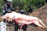 Kinh hoàng lợn chết do tụ huyết trùng được giết mổ đem đi bán