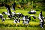 Lý giải sự xuất hiện của hàng trăm con chim lạ ở Lào Cai