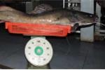Bắt được cá lăng khổng lồ trên sông Sêrêpôk