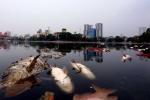 Cá chết phủ trắng mặt hồ Hoàng Cầu