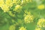 2 cây cỏ đặc biệt được vinh danh trong giải Nobel Y học
