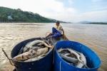 Thủy điện Hòa Bình xả lũ, dân khóc ròng vì hàng chục tấn cá tầm chết sát ngày thu hoạch
