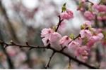 Người dân nô nức ngắm hoa anh đào tuyệt đẹp giữa lòng Thủ đô