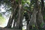 Chuyện lạ quanh 'cây thần' ngàn tuổi, tán phủ cả góc núi ở Hòa Bình