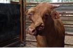 Bò 'hai mặt' kỳ dị gây xôn xao nước Úc