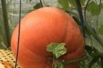 Vào 'mùa Halloween, khách tranh nhau mua bí ngô khổng lồ, 5 triệu đồng/quả