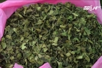 Lá 'Thiên đường': Hiểm họa ma túy cực độc đang tràn vào Việt Nam